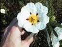 Jara pringosa